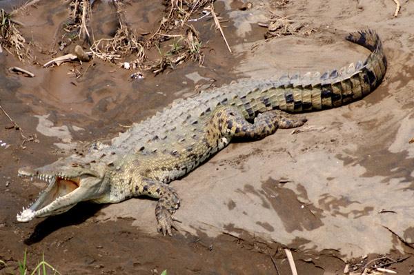 costa-rica-voyages-crocodiles