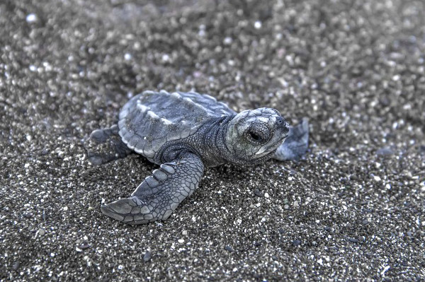 costa-rica-voyages-tortues